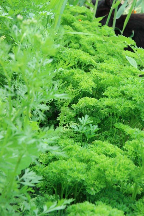 grön parsley royaltyfria bilder