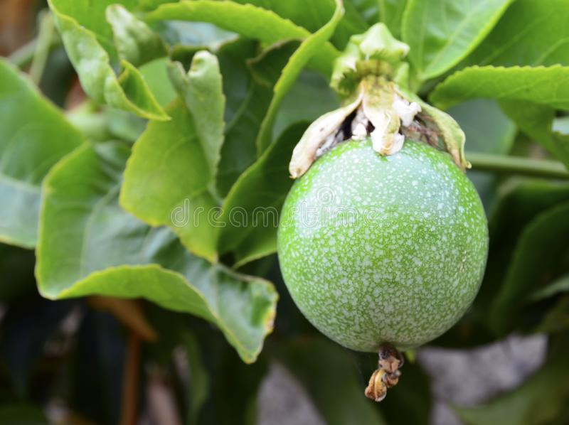 Grön passionfrukt som hänger på trädet i trädgården Edulis också bekant för Passiflora som Maracuya eller Parcha på vinrankaslute royaltyfri bild