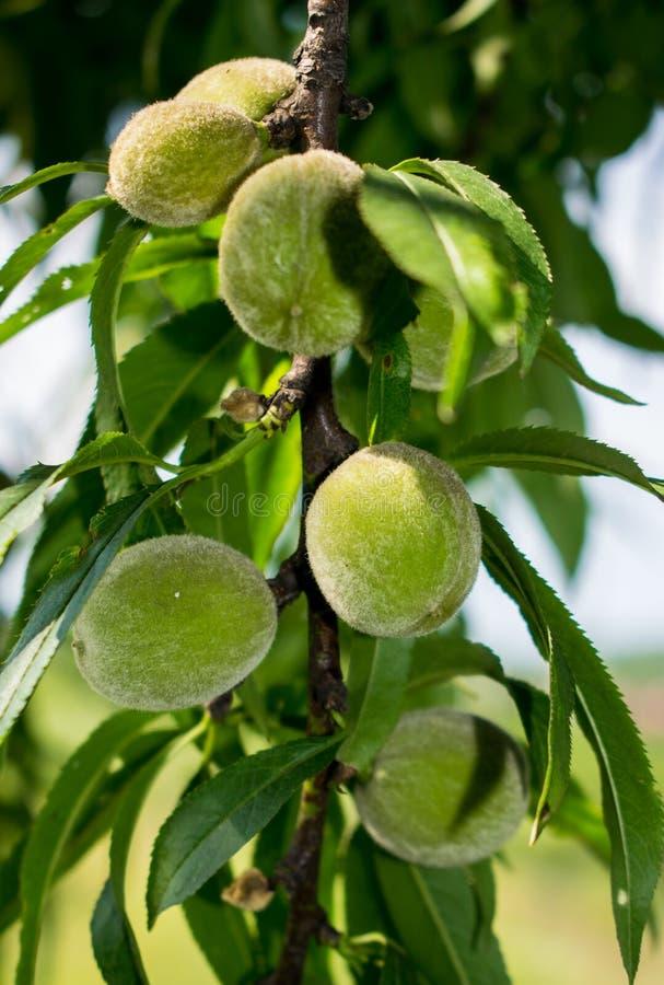 Grön persika som är omogen, i början av sommaren royaltyfri fotografi