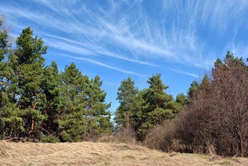 Grön pinjeskog i en äng av gult gräs på en kulle, blå molnig himmel arkivfoton