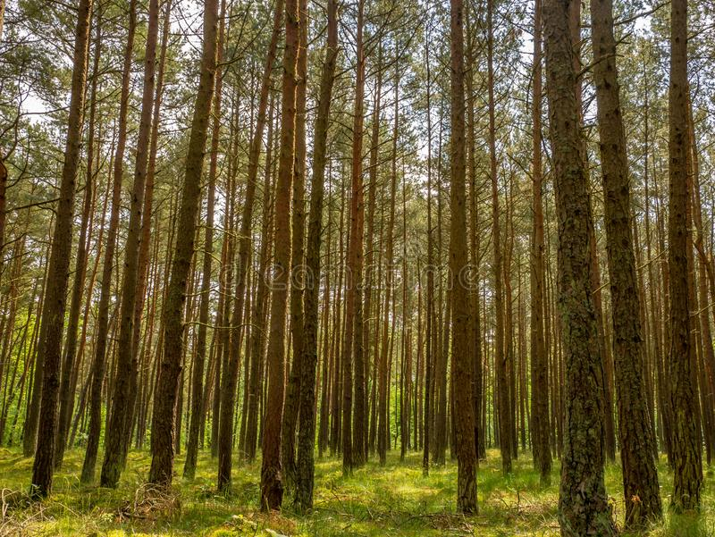 Grön pinjeskogbakgrund i en solig dag gdansk poland V royaltyfri foto