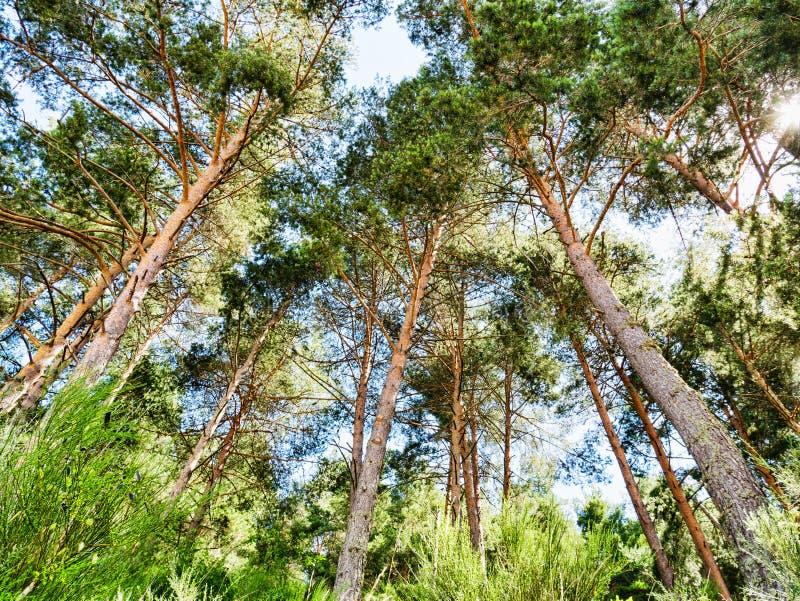 Grön pinjeskogbakgrund i solig dag arkivfoton