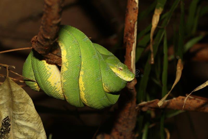 Grön pytonorm arkivbilder