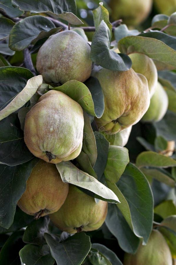 grön quince arkivbild