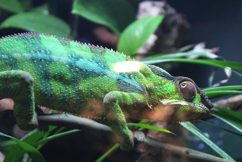 Grön randig kameleont på en filial fotografering för bildbyråer