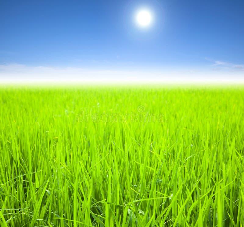 grön rice för fält royaltyfri bild