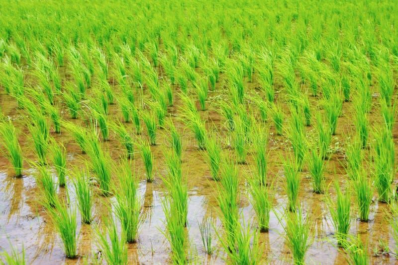 grön rice för fält arkivfoton