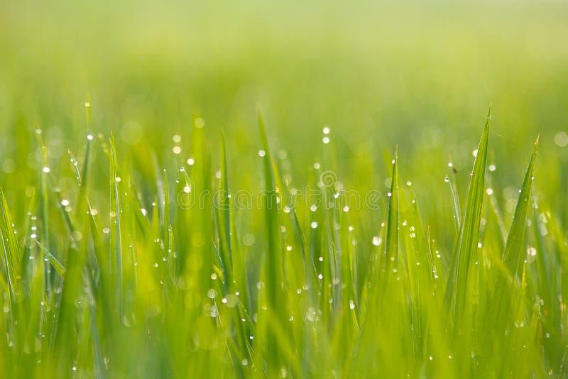 Grön RicefältClose upp royaltyfria bilder