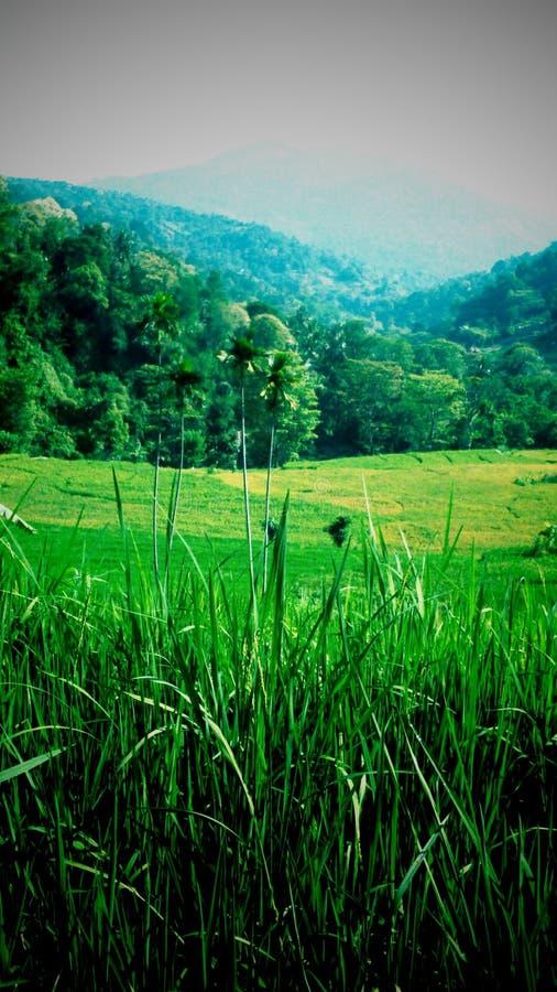 Grön risfält för kulle arkivfoton