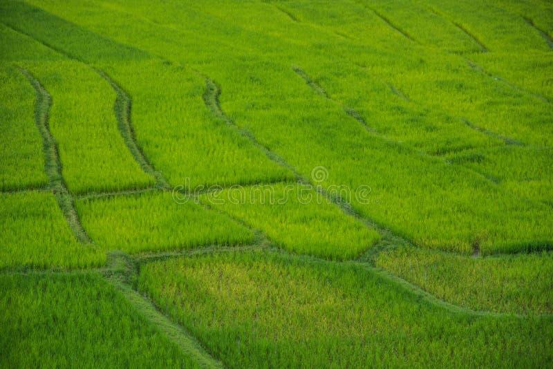Grön risfält i Chiang Mai Thailand, risfält på förbudPA P royaltyfri foto