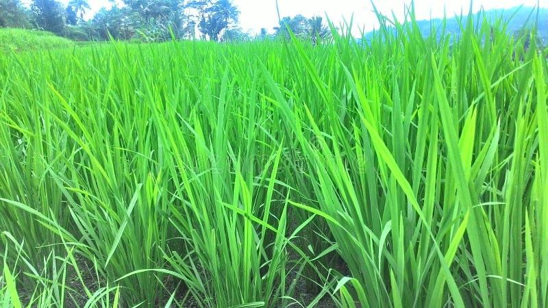 Grön risfält i risfält Vår och sommarbakgrund royaltyfria bilder