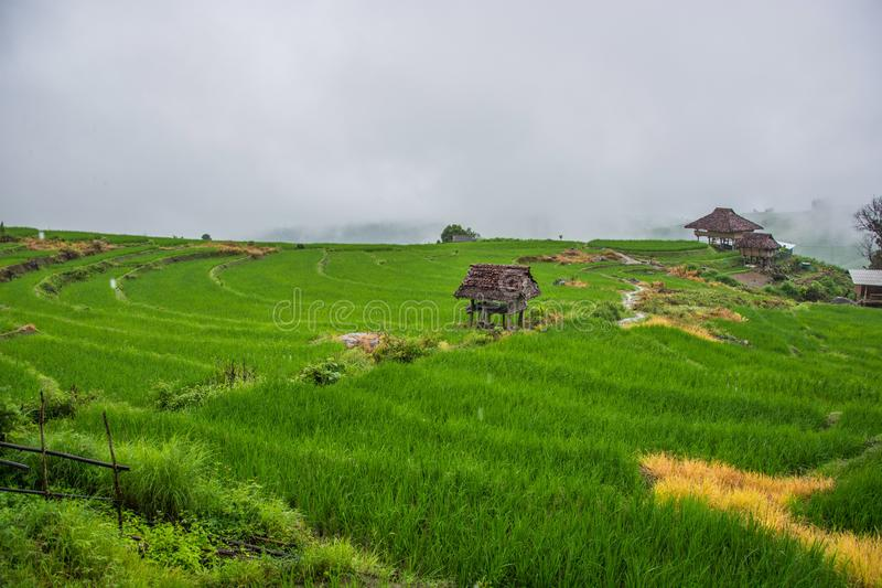 Grön risfält med dimma i Chiang Mai Thailand, risfält på arkivfoton