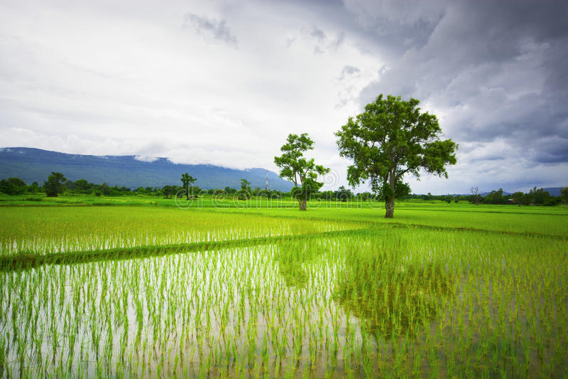 Grön risfält med en bergbakgrund royaltyfria foton