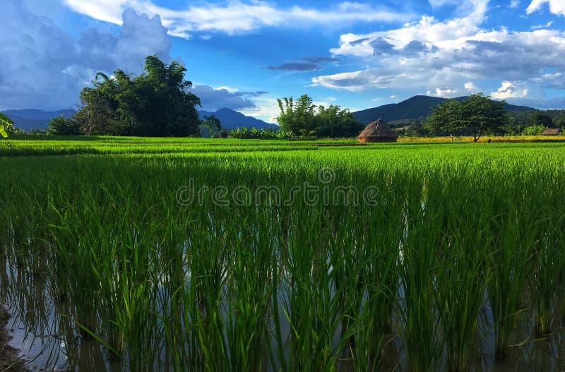 Grön risfält med vatten och sugrör bredvid träd under blå himmel, det vita molnet och berget royaltyfri foto