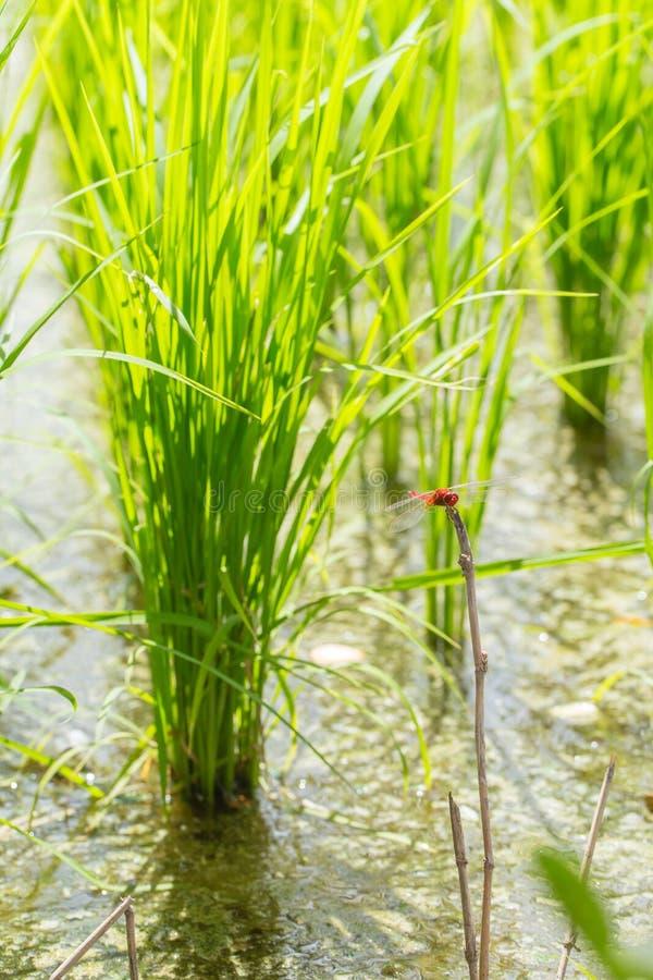 Grön risfält, Thailand matjordbruk arkivfoto