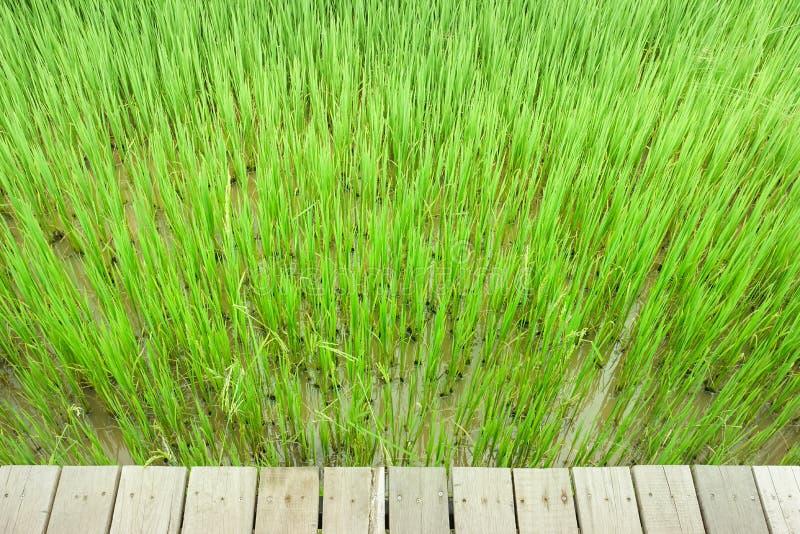 Grön risfältbakgrund med träbrädet royaltyfri fotografi