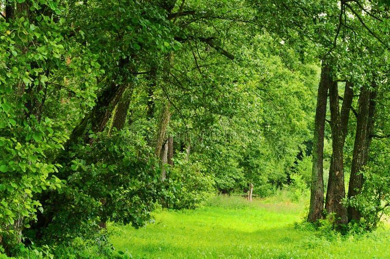 Grön romantisk glänta eller gränd i den gemensamma alen för lövskog också som är bekant som den svarta alen eller européalen (Aln royaltyfri fotografi