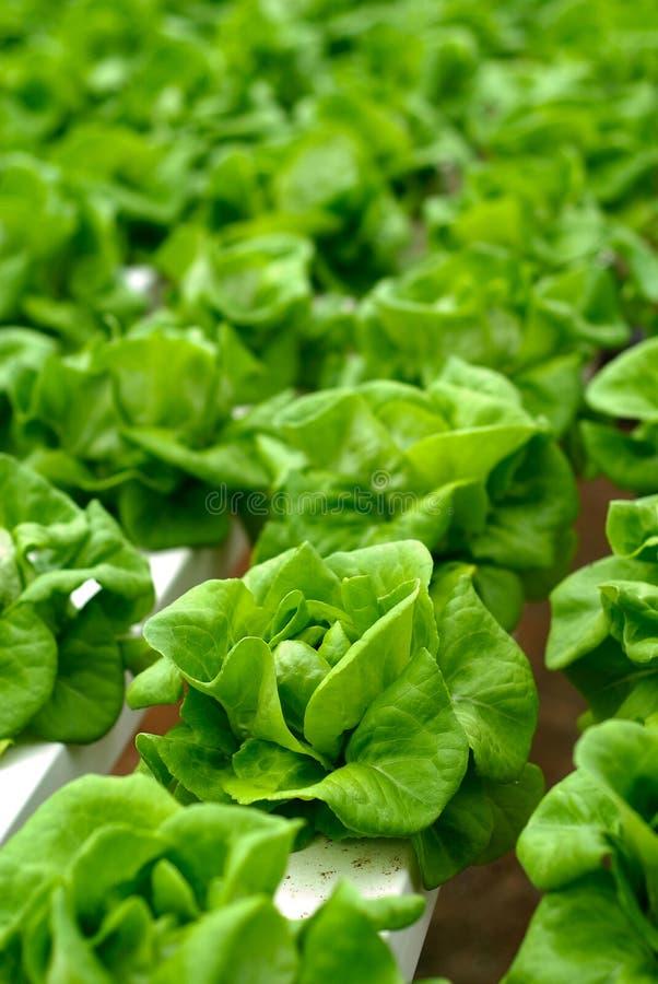 grön sallad för kål royaltyfri bild