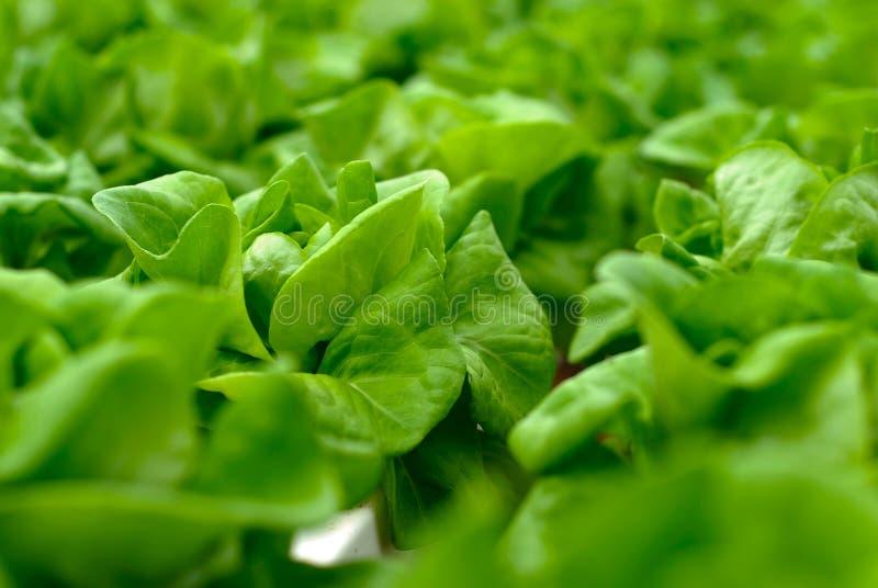 grön sallad för kål royaltyfria bilder