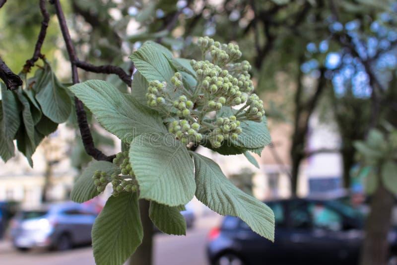 Grön sida- och knoppinflorescence av kastanjen arkivfoto