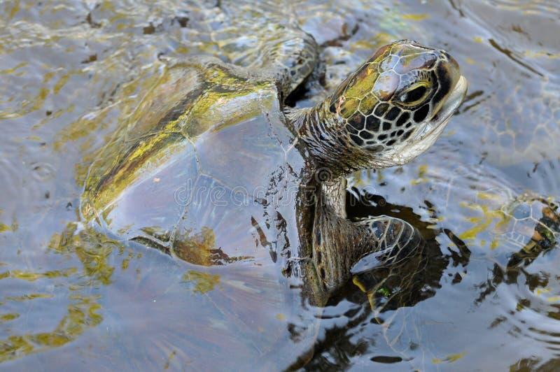 Grön sköldpadda, Jozani - Chwaka nationalpark, Zanzibar, Tanzania royaltyfri bild