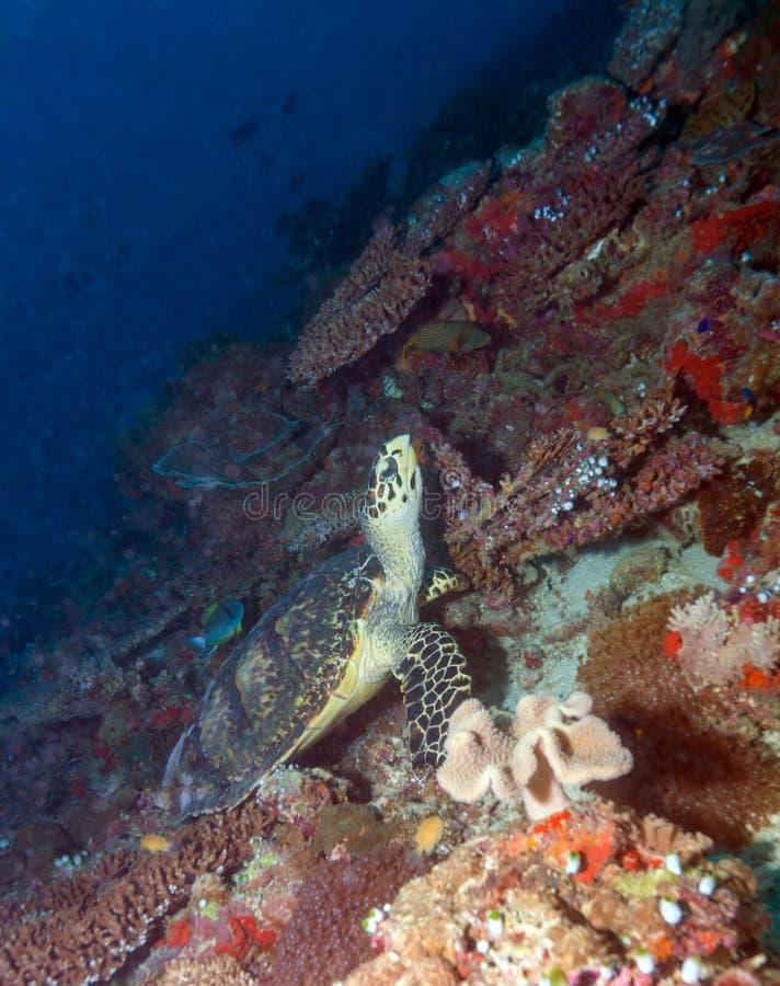 Grön sköldpadda som lägger på korallhavsbotten Maldiverna arkivbilder