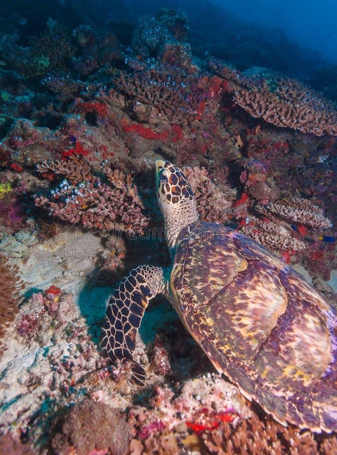 Grön sköldpadda som lägger på korallhavsbotten Maldiverna royaltyfri foto