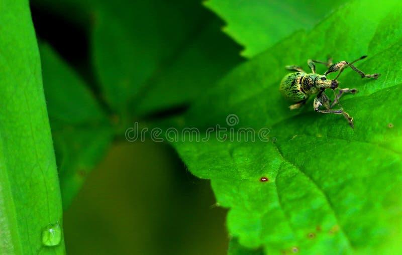 Grön skalbagge arkivfoton