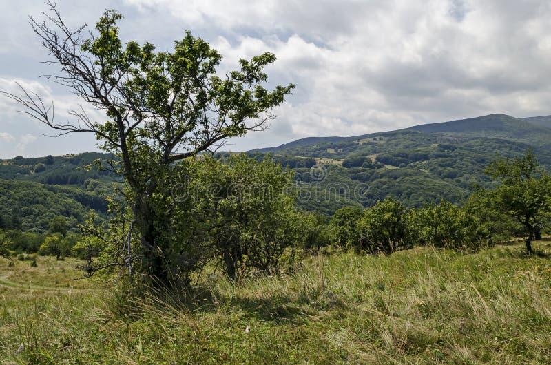 Grön skog för sommar, enkla träd i den nya gläntan med den olika gräsblomningvildblomman, Vitosha berg royaltyfria foton
