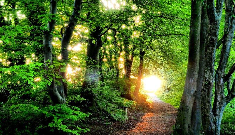 Grön skog med den guld- aftonsolen Chilterns UK royaltyfri foto