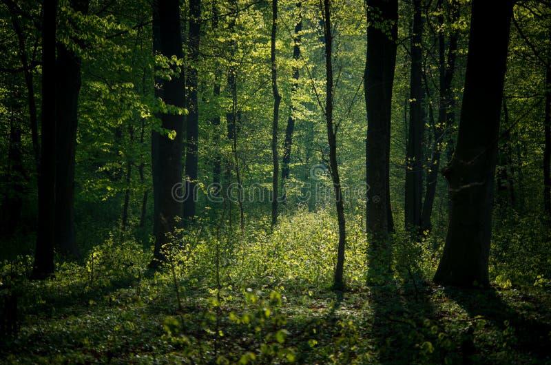 Grön skog som bakifrån tänds arkivfoto
