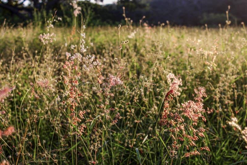 grön solnedgång för fält royaltyfri fotografi