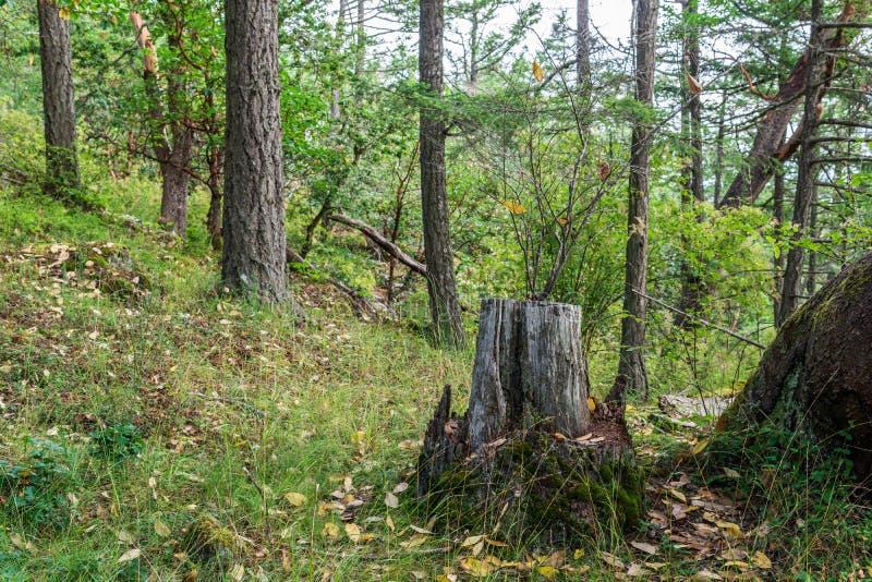 grön sommarskog på för Kanada för vancouver ö tid sommar royaltyfri fotografi
