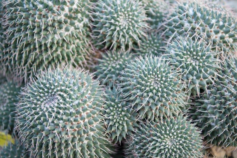 Grön spetsig kaktusblomma med taggar royaltyfria bilder
