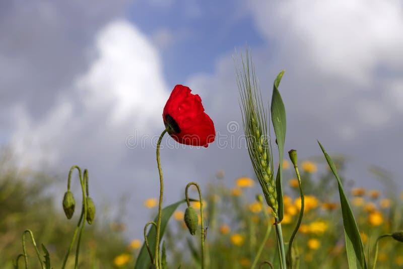 Grön spikelet av vete, blomman och knoppar av röda vallmo på en bakgrund av gula blommor och en blå himmel med moln arkivfoton