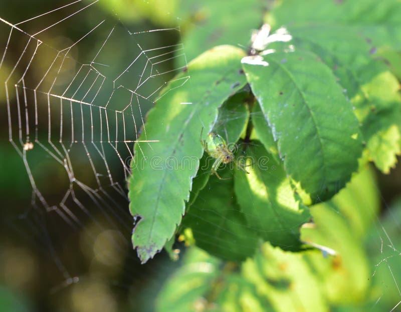 grön spindel fotografering för bildbyråer