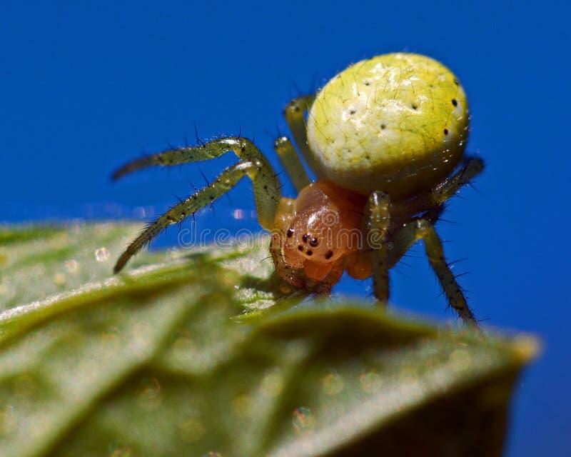 Grön spindel för gurka, Araniella cucurbittinakvinnlig royaltyfria bilder