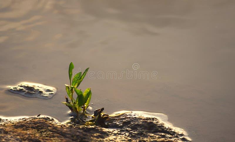 Grön spira växt som växer vid sidan av vatten - naturlig bakgrund - botanik - biologi - hopp och ambition - tillväxt fotografering för bildbyråer