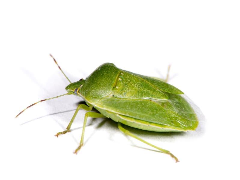 Grön stank buggar royaltyfria bilder