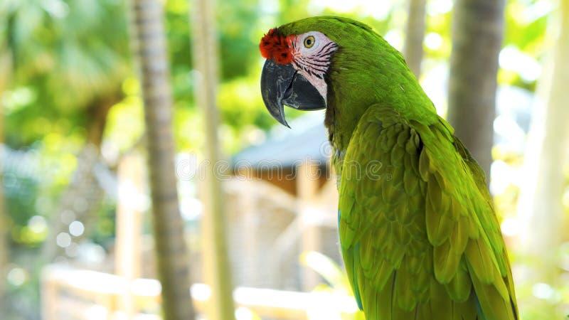 Grön Stor-gräsplan för papegoja för papegoja//gräsplan ara, munkhättaambigua Lös sällsynt fågel i naturlivsmiljön som sitter på f royaltyfri fotografi