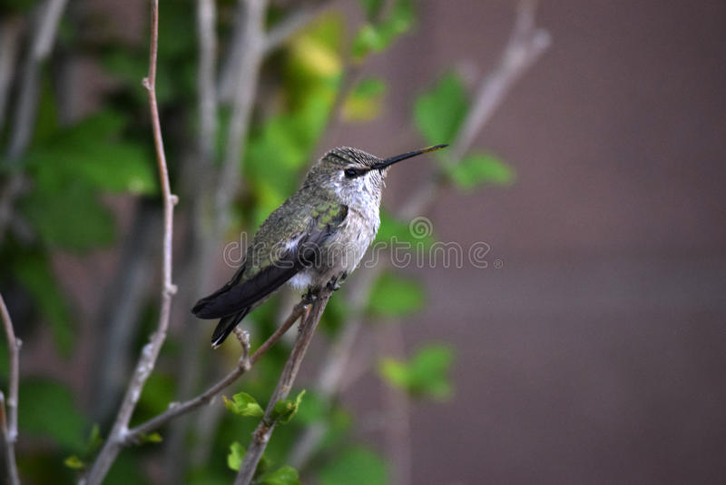 Grön & svart kolibri på filial royaltyfri foto