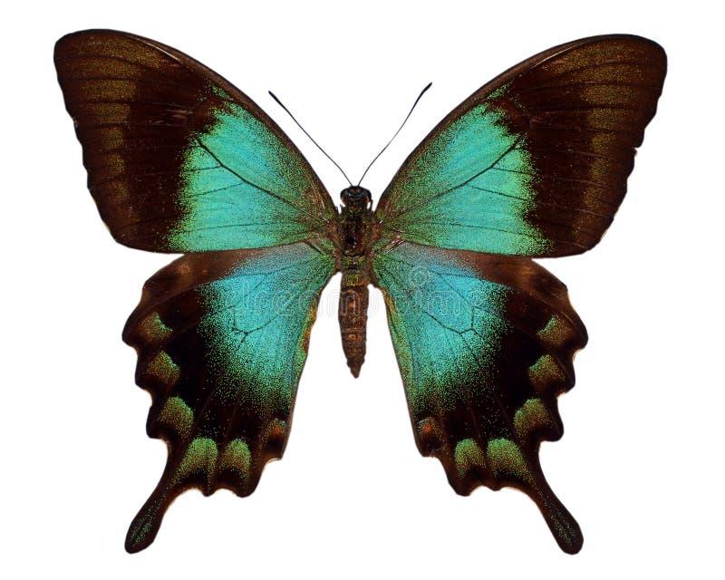 grön swallowtail royaltyfri fotografi