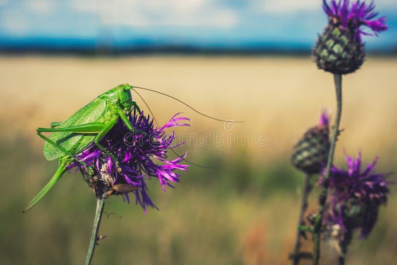 Grön syrsa på den purpurfärgade blomman fotografering för bildbyråer