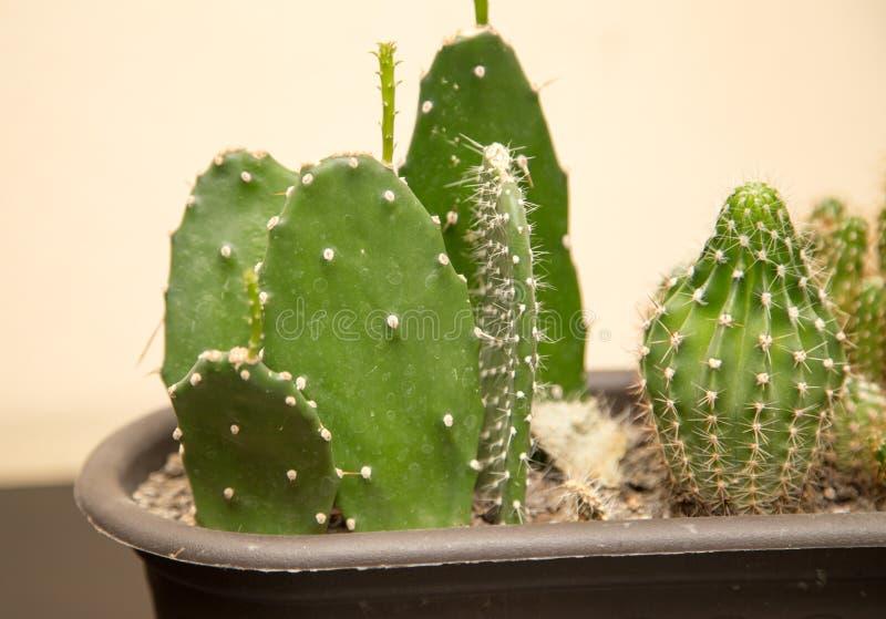 Grön taggig kaktus i hemmet arkivbild