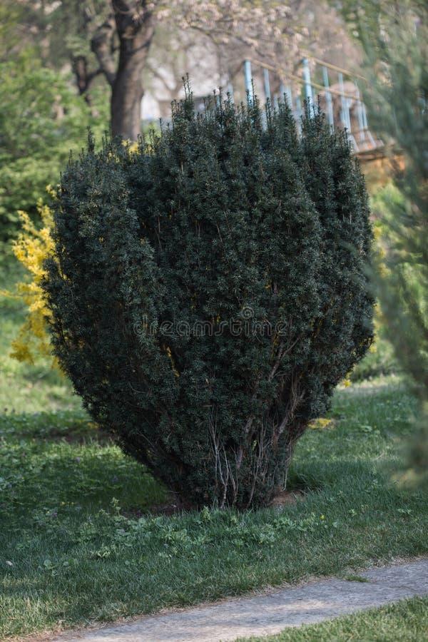 Grön Taxusbaccata i naturlig botanisk trädgård i Kiev royaltyfri foto