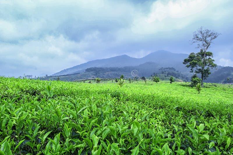 grön tea för fält royaltyfri foto