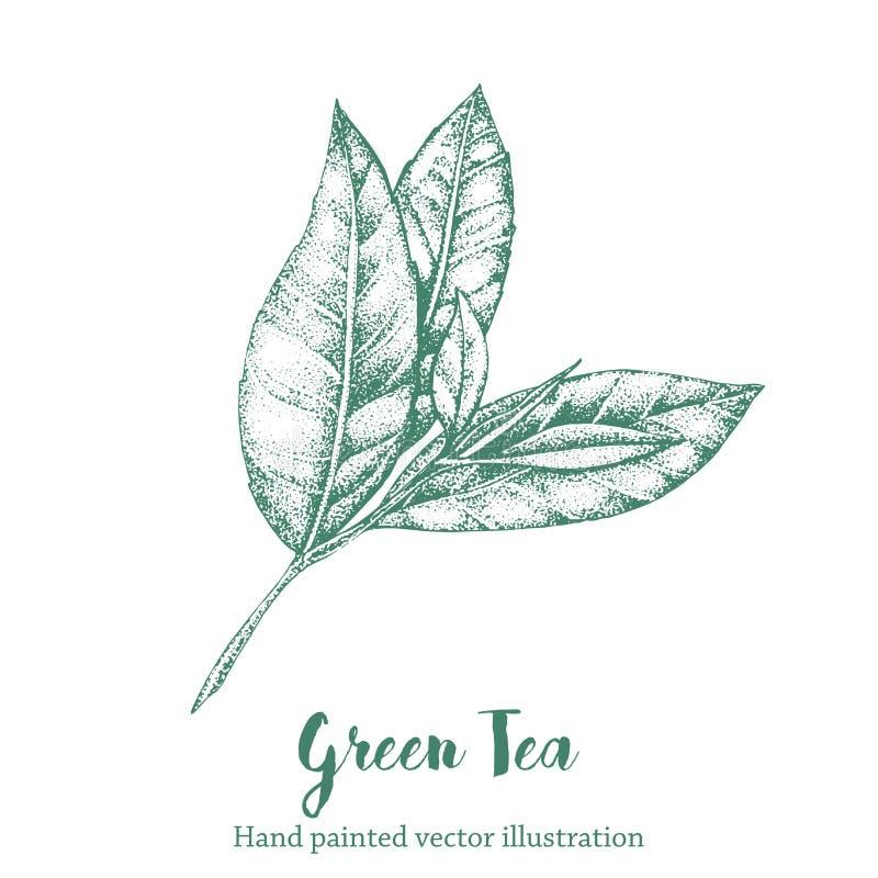 Grön tebladvektorillustration Skissar den organiska handteckningen för den blom- filialen royaltyfri bild
