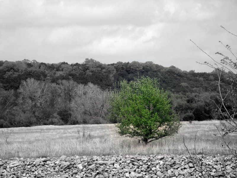 grön texas tree royaltyfri bild