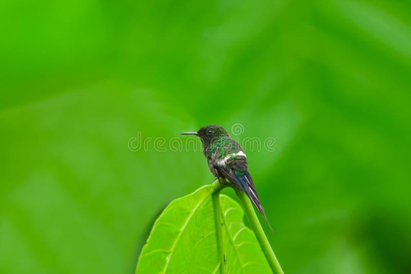 Grön Thorntail kolibri, man arkivfoto