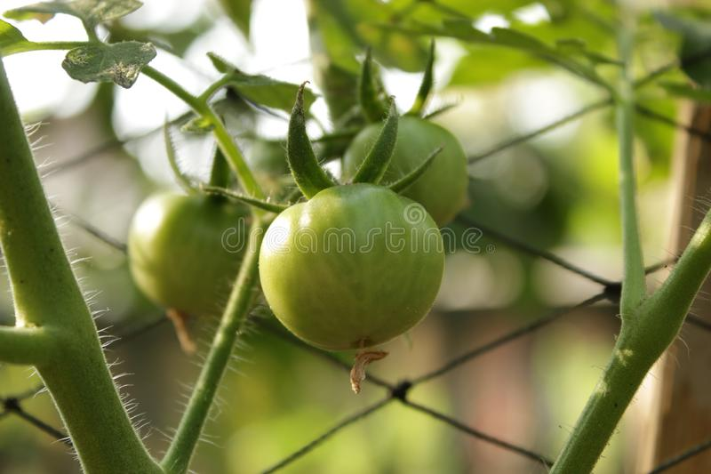 Grön tomat som växer i min trädgård fotografering för bildbyråer